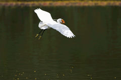 Large egret. Flying for foraging Royalty Free Stock Images