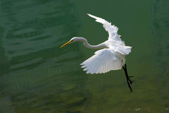 Large egret. Flying for foraging Stock Photography