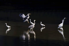 Large egret and grey heron. In the river Stock Photography