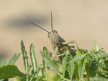Large Egyptian Locust on a Marigold Plant royalty free stock images
