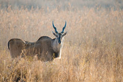 Large Eland in grasslands Royalty Free Stock Photo