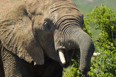 Large elephant Stock Photography