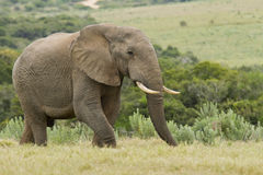 Large Elephant Stock Image