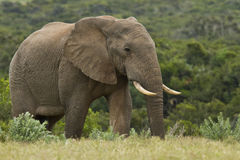Large elephant Stock Photo