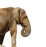 A large elephant. Isolated on white background Stock Photo