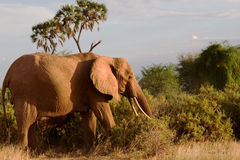 Large elephant in Africa Royalty Free Stock Photo