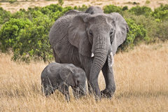 Large elephant with baby. Baby and full grown elephant walking through grassy field Royalty Free Stock Photo