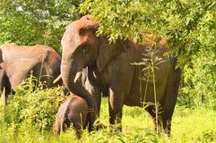 Large elephant with a baby elephant royalty free stock images