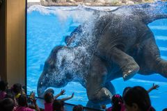 Large elephant bathes in the pool with a glass window in front of the children. Pattaya, Thailand Royalty Free Stock Photography