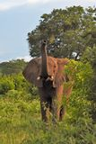 Large elephant in the brush trunk up Royalty Free Stock Photos
