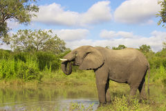 Large elephant bull royalty free stock images