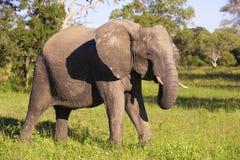 Large elephant bull Royalty Free Stock Images