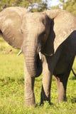 Large elephant bull stock photo