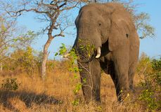 Large elephant bull Stock Photos