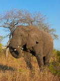 Large elephant bull Royalty Free Stock Photography