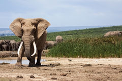 Large Elephant Bull. A large elephant bull standing at the waterhole Royalty Free Stock Images