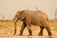 Large elephant bull. Walking in a desert area Royalty Free Stock Photo