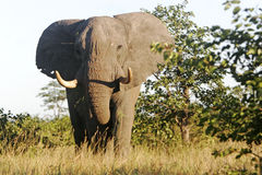 Large elephant bull Stock Photo