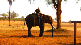Large elephant carrying a human Stock Images