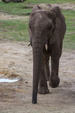 Large elephant Royalty Free Stock Photography