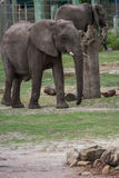 Large elephant Royalty Free Stock Images