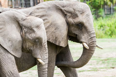 Large elephant Royalty Free Stock Photo