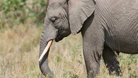 Large elephant eat grass and branches in Africa stock video footage