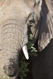 Large elephant eating grass Stock Photo