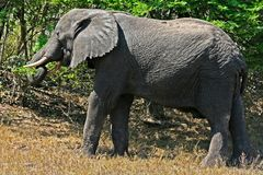 Large elephant eating leaves In Tembe reserve royalty free stock photo