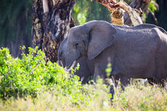 Large elephant eats in Serengeti Royalty Free Stock Photo