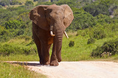 Large elephant on a gravel road. Large male elephant walking down a gravel road in the hot midday sun Stock Image