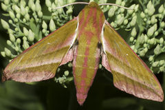 Large elephant hawk moth / Deilephila elpenor Royalty Free Stock Photography