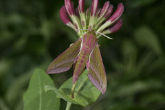 Large elephant hawk moth, Deilephila elpenor Royalty Free Stock Photo