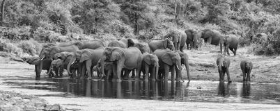 Large elephant herd stand and drink at edge of a water hole Stock Images