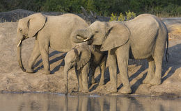 Large elephant herd stand and drink at edge of a water hole Royalty Free Stock Image
