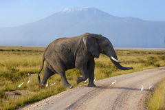Large elephant with a   Mount Kilimanjaro in the background Stock Image
