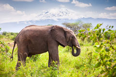 Large elephant with  Mount Kilimanjaro. Tanzania. Stock Photos