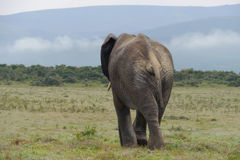 Large elephant. Elephant in an open stretch of grassland Royalty Free Stock Photography