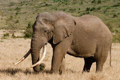 Large elephant. Elephant in an open stretch of grassland Stock Images
