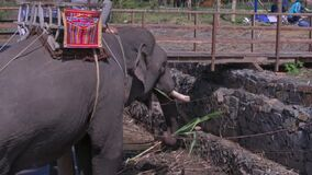 Large Elephant Rests Eats Palm Leaves by Platform. Close view large gray elephant with tourist wooden seat rests and eats palm leaves against special platform on stock video