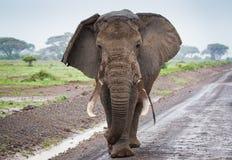 Large single elephant on the road in Amboseli Kenya. Large elephant on the road in Amboseli National Park Kenya royalty free stock photography