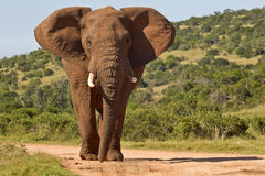 Large elephant in the road. Large elephant standing in the middle of the road with one broken tusk royalty free stock photos
