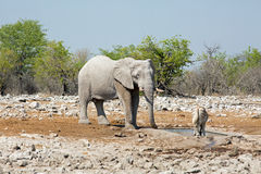 A large elephant stands near a waterhole with an oryx Royalty Free Stock Images