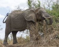 Large Elephant with tusks eating sideview Royalty Free Stock Photos