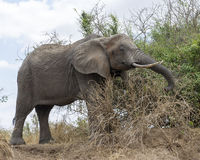Large Elephant with tusks eating sideview Royalty Free Stock Photography