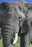 Large elephant using trunk to eat. Large elephant uses trunk into mouth, big tusks facing forward stock images