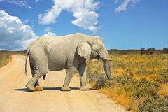 Large Elephant walking across a dry dusty road in Etosha with blue vibrant sky. Large Elephant waking across a dry dusty road with a nice cloudscape background Royalty Free Stock Images