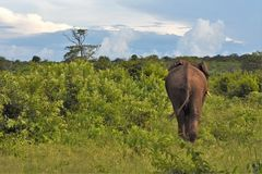 Large elephant walking away. Large elephant in the brush walking away Stock Images