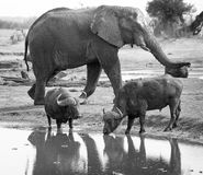 Large Elephant walking close to Buffalo drinking at waterhole Stock Photos