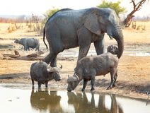 Large Elephant walking close to Buffalo drinking at waterhole Royalty Free Stock Photos